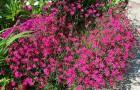 Гвоздика дельтовидная, или гвоздика травянка