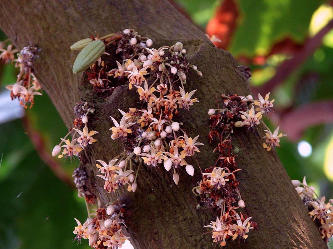 Какао, или шоколадное дерево