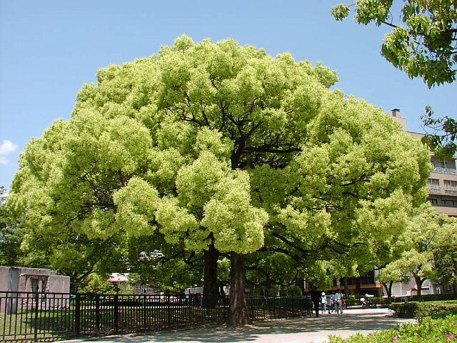 Камфорное дерево, или камфорный лавр