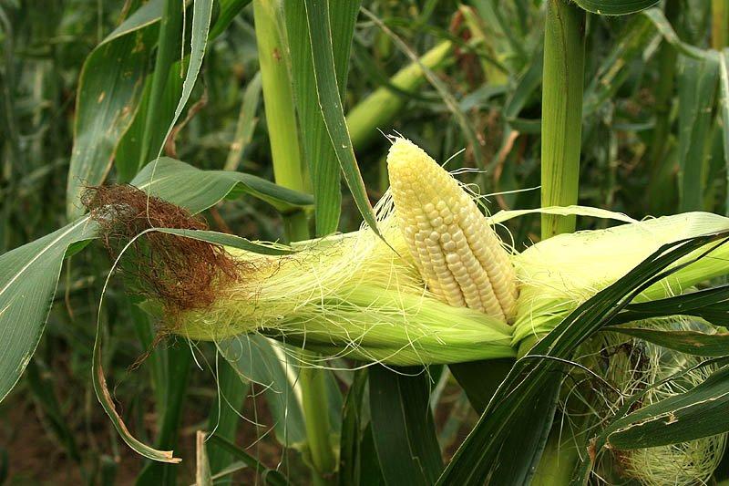 Кукуруза обыкновенная, или маис