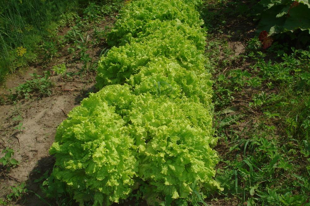 Латук посевной, или салат