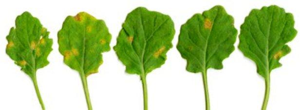 Ложная мучнистая роса, или пероноспороз капусты