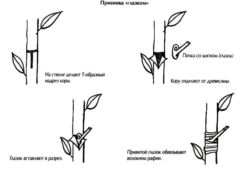 Прививка «глазком» (окулировка)
