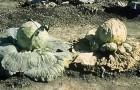 Ризоктониоз капусты