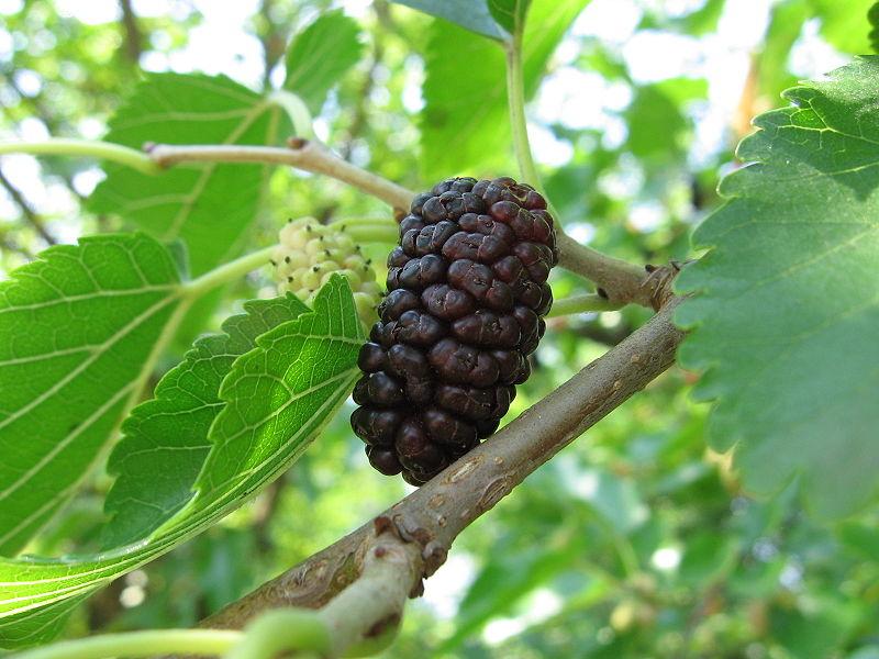 Шелковица черная, или тутовое дерево