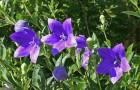 Ширококолокольчик крупноцветковый, или китайский колокольчик