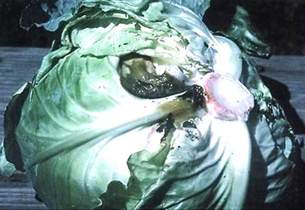 Слизистый бактериоз или мокрая бактериальная гниль капусты