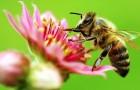 Сокращение мировой популяции пчел - угроза для растений