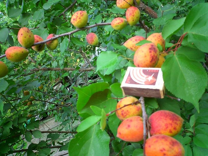 Сорт абрикоса: Академик