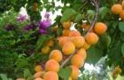Сорт абрикоса: Айсберг