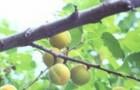 Сорт абрикоса: Челябинский ранний