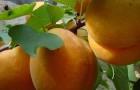 Сорт абрикоса: Чемпион Севера