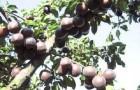 Сорт абрикоса: Чёрный бархат