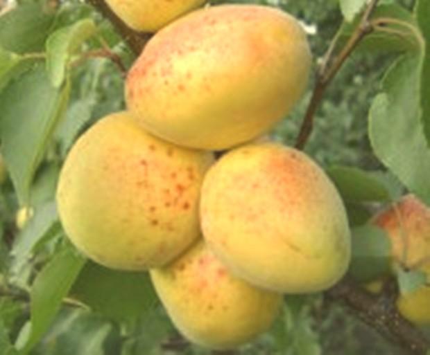 Сорт абрикоса: Эсделик (алаша)