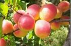 Сорт абрикоса: Горный Абакан