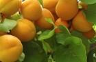 Сорт абрикоса: Гритиказ