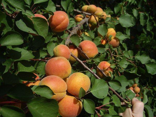 Сорт абрикоса: Краснощёкий поздний