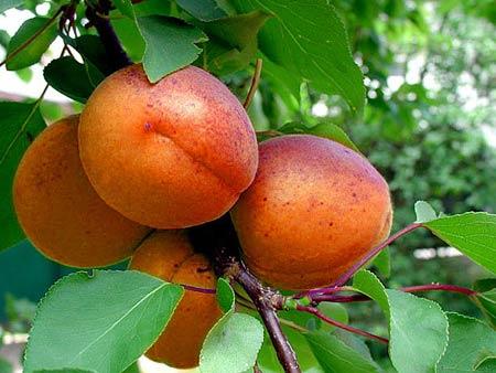 Сорт абрикоса: Краснощёкий