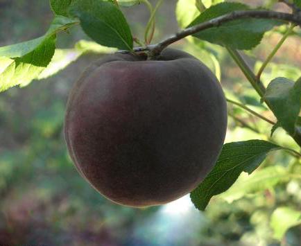 Сорт абрикоса: Кубанский черный