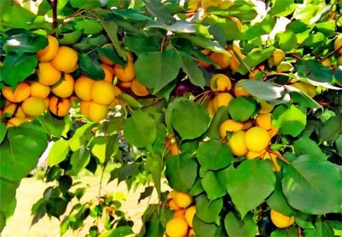 Сорт абрикоса: Лель
