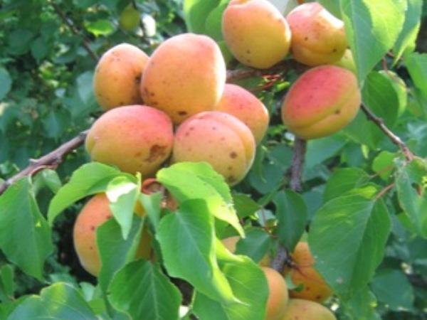 Сорт абрикоса: Монастырский