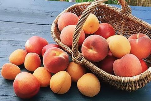 Сорт абрикоса: Муса