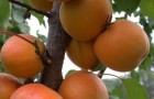 Сорт абрикоса: Орлик Ставрополья