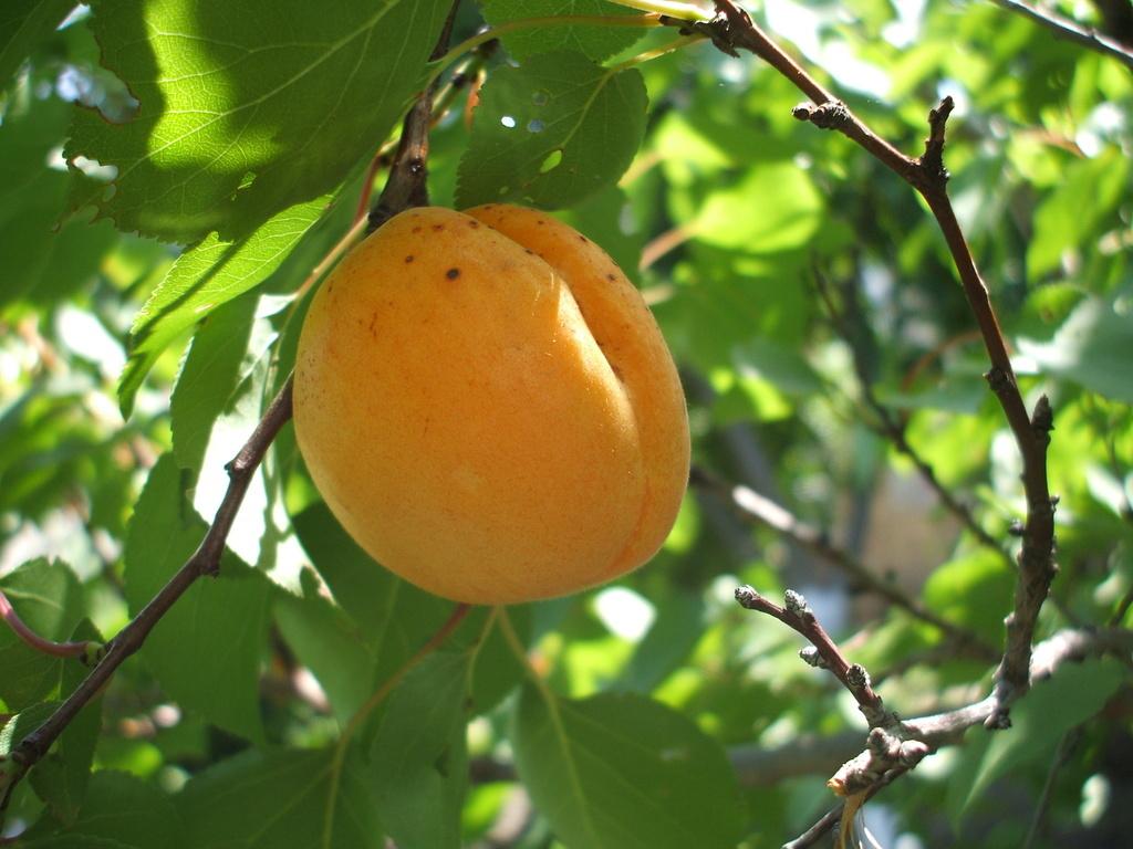 Сорт абрикоса: Орловчанин