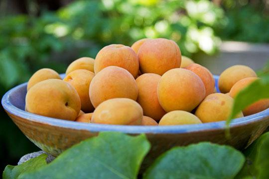 Сорт абрикоса: Шиндахлан