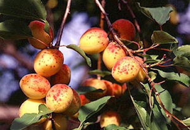 Сорт абрикоса: Самарский