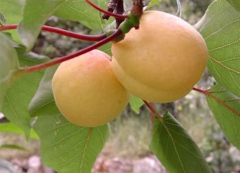 Сорт абрикоса: Серафим