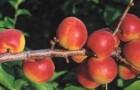 Сорт абрикоса: Северное сияние