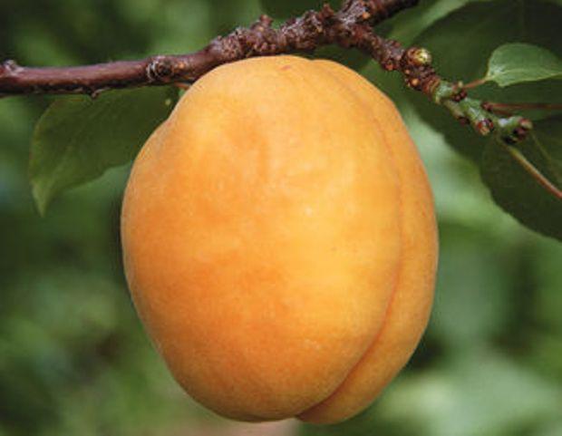 Сорт абрикоса: Сибиряк Байкалова