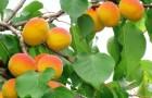 Сорт абрикоса: Снежинский