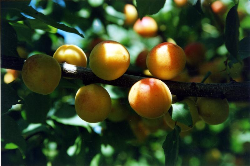 Сорт абрикоса: Царский