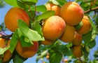 Сорт абрикоса: Тамаша