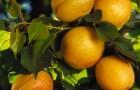 Сорт абрикоса: Триумф северный