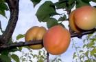 Сорт абрикоса: Восточный Саян