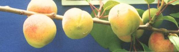 Сорт абрикоса: Янтарь Поволжья