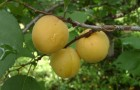 Сорт абрикоса: Жемчужина Жигулей