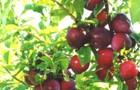 Сорт алычи: Пионерка