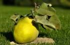 Сорт айвы: Буйнакская крупноплодная