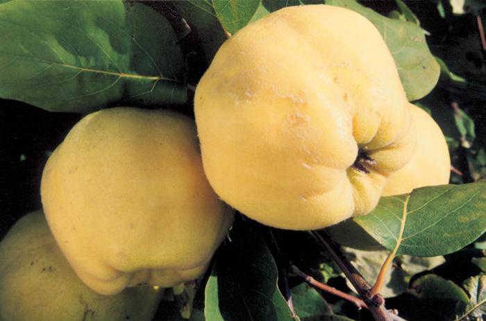 Сорт айвы: Краснодарская крупноплодная