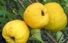 Сорт айвы: Краснослободская