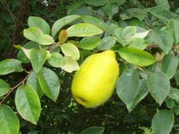 Сорт айвы: Ктюн-жум (зимняя айва)