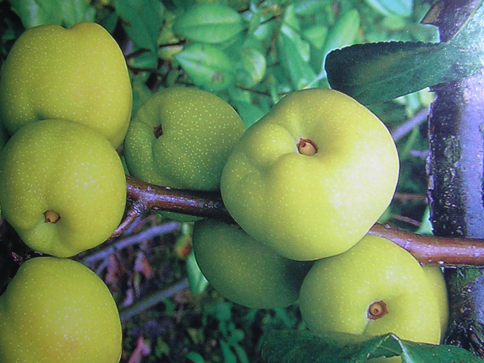 Сорт айвы: Маслянка поздняя