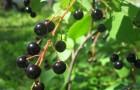 Сорт черемухи: Сахалинская чёрная