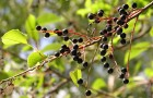 Сорт черемухи: Сахалинская устойчивая