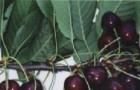 Сорт черешни: Дагестанская ранняя