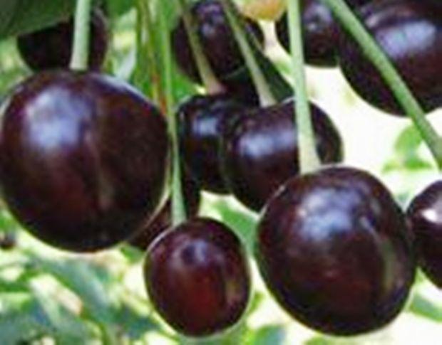 Сорт черешни: Французская чёрная